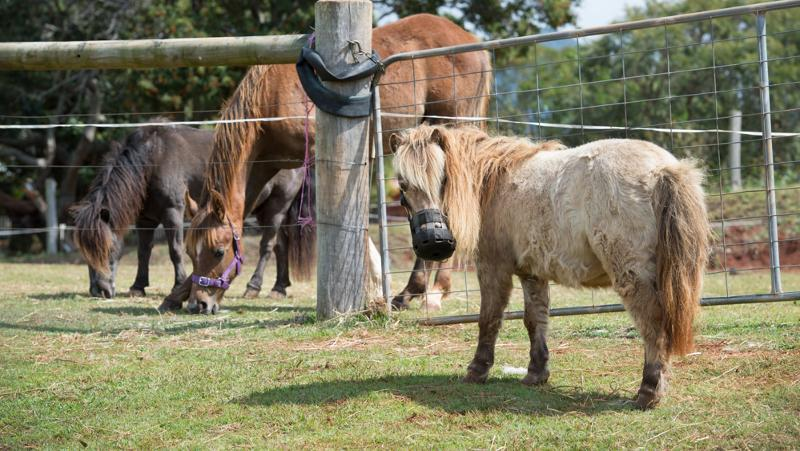 Giddy up: help for plump ponies is fast on its way