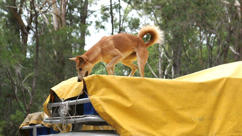 Dingoes and tourists will never mix